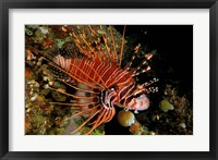 Framed Indonesia, Sulawesi, Spotfin lionfish