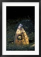 Framed Blackfin Snake Eel with cleaner shrimp, North Sulawesi, Indonesia