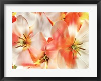 Framed Tulips 1