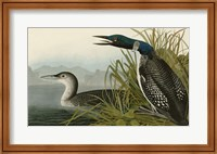 Framed Great Northern Diver or Loon