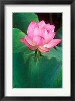 Framed Ohga Lotus, Sankei-en Garden, Yokohama, Japan