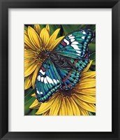 Framed Gaudy Baron Butterfly