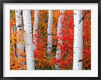 Framed Aspens and Maples