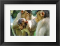 Framed Southern Pig-Tailed Macaque, Sepilok, Borneo, Malaysia