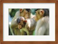 Framed Southern Pig-Tailed Macaque, Sepilok, Borneo, Malaysia