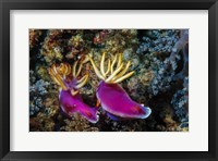 Framed Pair of Nudibranch Kapalai Island, Malaysia