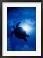 Framed Sea Turtle Underwater, Sipadan Island South Point, Malaysia