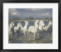 Framed White Horses of the Camargue