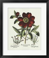 Framed Red Besler Peonie I