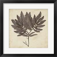 Framed Vintage Seaweed II