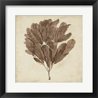 Framed Vintage Seaweed III