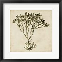 Framed Vintage Seaweed IV