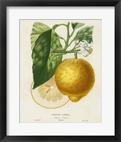 Framed French Lemon Botanical I