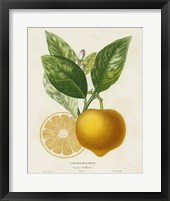Framed French Lemon Botanical III
