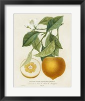 Framed French Orange Botanical I