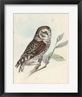 Framed Meyer Little Owl