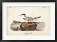 Framed Audubon Havells Tern