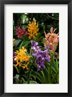 Framed Singapore. National Orchid Garden - Multi colored Orchids