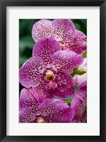 Framed Singapore. National Orchid Garden - spotted Orchids