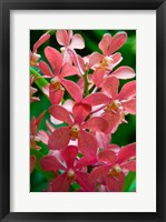 Framed Singapore. National Orchid Garden - salmon colored Orchids