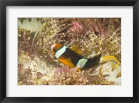 Framed Clark's Anemonefish, Philippines