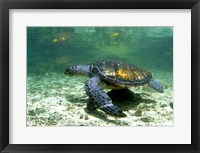 Framed Green Sea Turtle Savai'i Island, Western Samoa