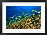 Framed Schooling Damselfish, North Huvadhoo Atoll, Southern Maldives, Indian Ocean