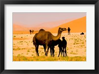 Framed Oman, Rub Al Khali desert, camels, mother and calves