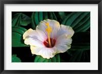 Framed Hibiscus flower, Bangkok, Thailand
