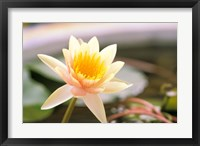 Framed Water Lily flower, Ayuthaya, Thailand