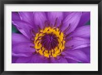 Framed Purple and Yellow Lotus Flower, Bangkok, Thailand