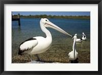 Framed Australian Pelican, Australia