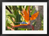 Framed Bird-of-Paradise Flower, Sunshine Coast, Queensland, Australia