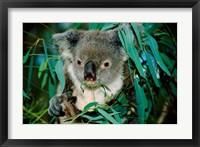 Framed Koala Eating, Rockhampton, Queensland, Australia