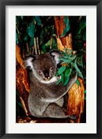 Framed Koala on Eucalyptus, Featherdale Wildlife Park, Sydney, Australia