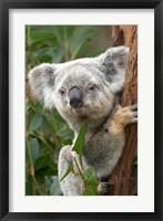 Framed Koala, Australia