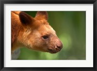 Framed Tree Kangaroo, Australia