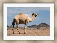 Framed Camel near Stuart Highway, Outback, Northern Territory, Australia