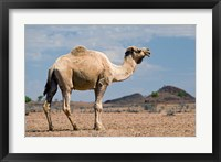 Framed Camel near Stuart Highway, Outback, Northern Territory, Australia
