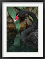Framed Australia, Black Swan (Cygnus atratus)