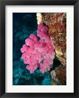 Framed Agincourt Reef, Great Barrier Reef, Queensland, Australia
