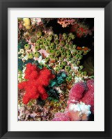 Framed Coral, Agincourt Reef, Great Barrier Reef, North Queensland, Australia