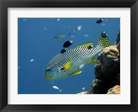 Framed Diagonal-Banded Sweetlips, Great Barrier Reef, Australia