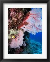Framed Fan Coral, Agincourt Reef, Great Barrier Reef, North Queensland, Australia