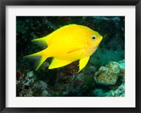 Framed Golden Damsel fish, Great Barrier Reef, Australia