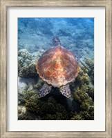 Framed Green Turtle, Low Isles, Great Barrier Reef, North Queensland, Australia