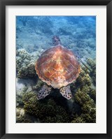 Framed Green Turtle, Low Isles, Great Barrier Reef, North Queensland, Australia