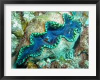 Framed Outlet Siphon, Giant Clam, Agincourt Reef, Great Barrier Reef, North Queensland, Australia
