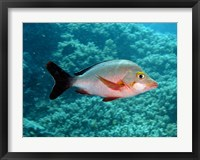Framed Paddletail fish, Agincourt, Great Barrier Reef, Australia