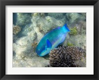 Framed Steephead Parrotfish, Great Barrier Reef, Australia